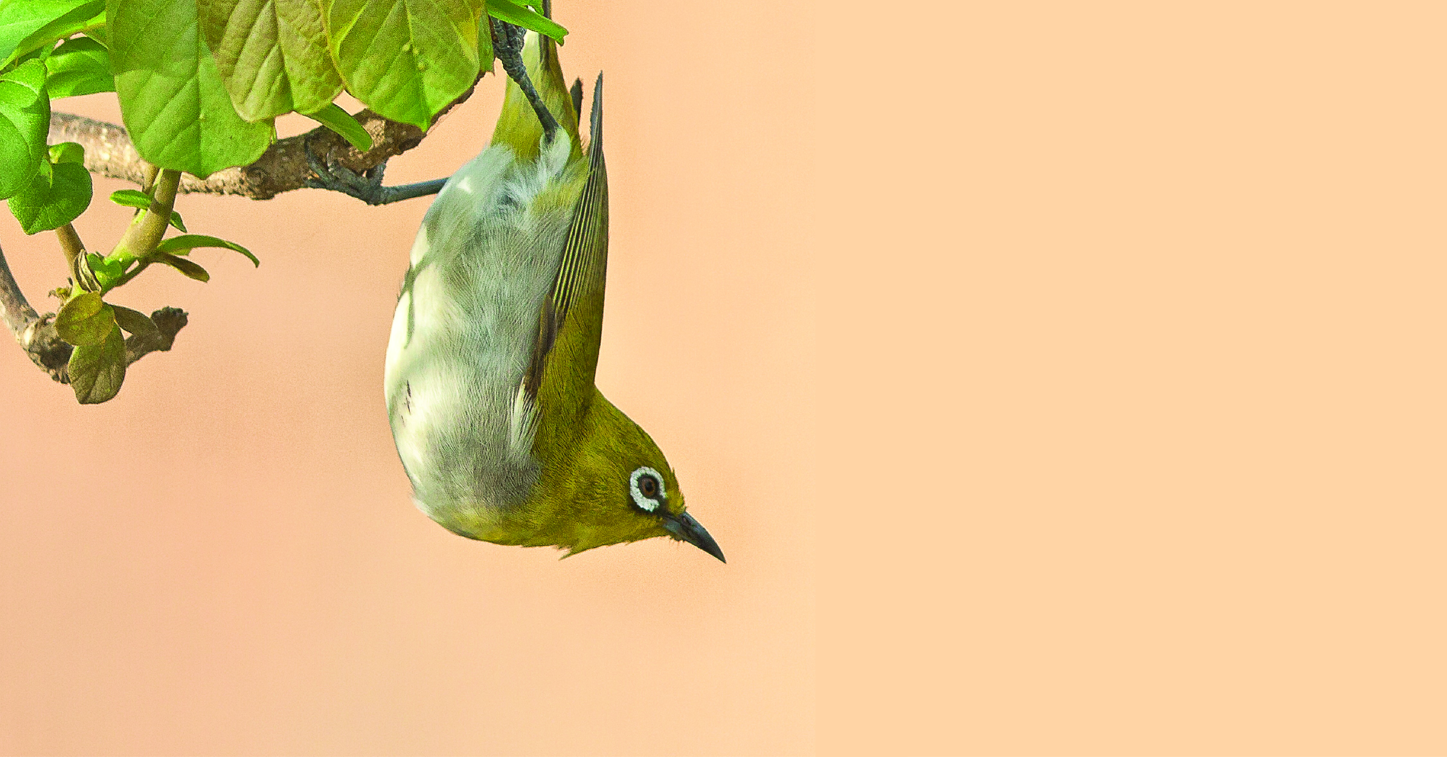 HomeDabbler | Songbird hanging from tree | 3 Easy Ways to Attract Songbirds to Your Yard